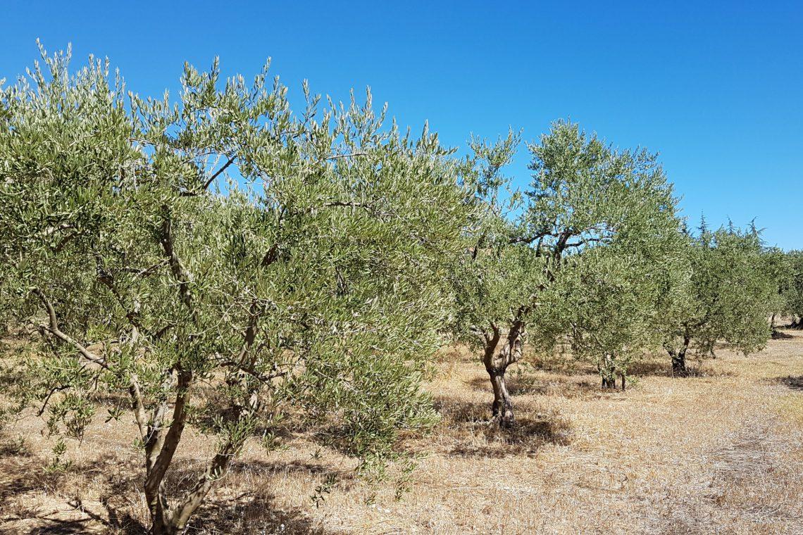 campo olivastro