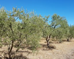 Olive oil from Haute-Provence (AOC)