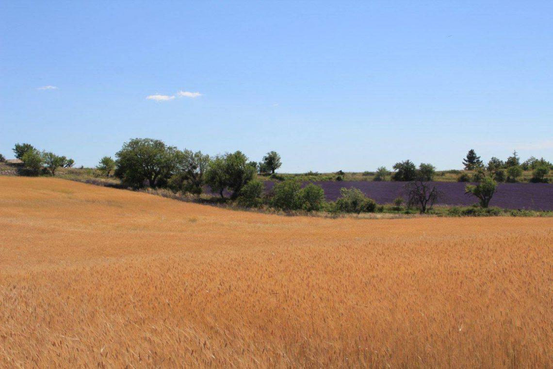 Il piccolo farro di Haute Provence (IGP)©Syndicat du petit épeautre de Haute-Provence