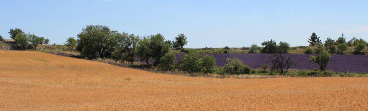 Il piccolo farro di Haute Provence (IGP) ©Syndicat du petit épeautre de Haute-Provence