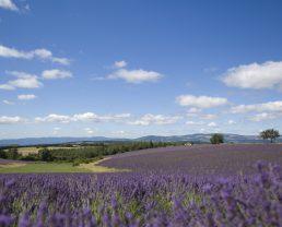 Lavander field ©M. Boutin