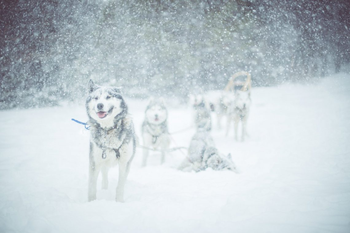 Cane da slitta ©Théo Giacometti