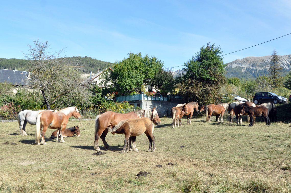 Concorso mulattiere a Seyne-les-Alpes