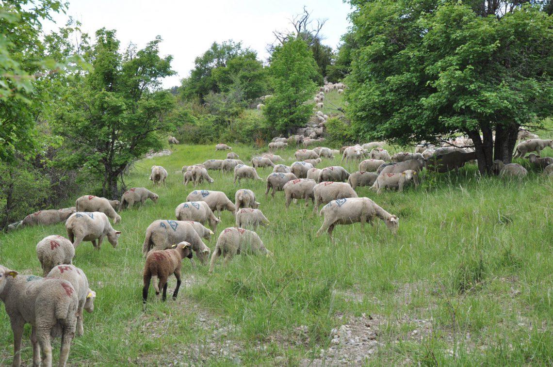 L'agnello di Sisteron (Label Rouge)