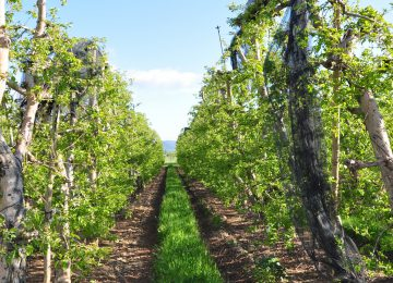 Haute Durance apples (IGP) and other Haute Provence fruit